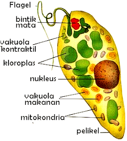 Pengertian Flagellata Ciriciri Klasifikasi dan Struktur Flagellata