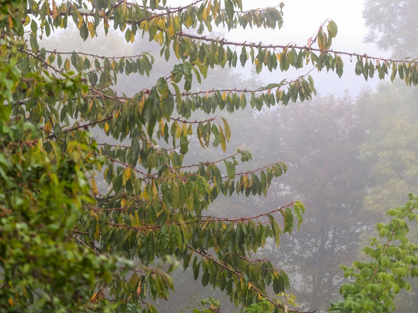 Cherry tree branches in the mist in a valley in the Boggeragh Mountains.