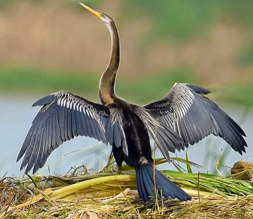 Indian birds - Image of Oriental darter - Anhinga melanogaster