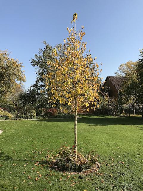 Baumhasel als Hausbaum