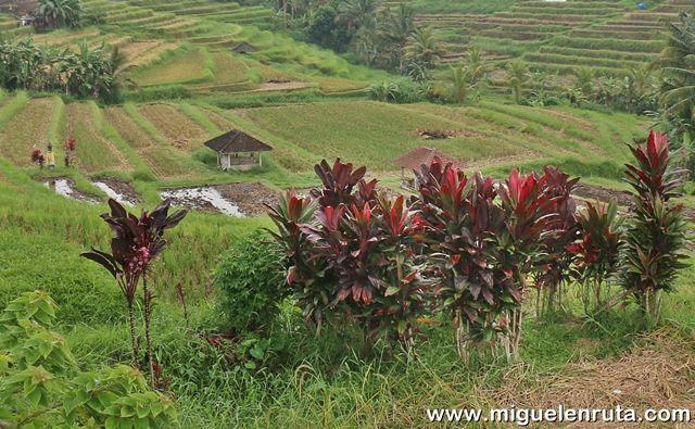 Cultivos-arroz-Jatiluwih