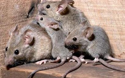 Risultato immagine per foto ratti