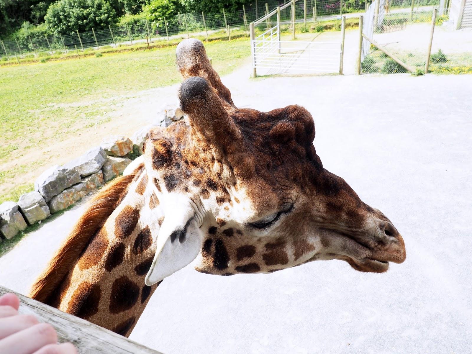 Folly Farm Adventure Park and Zoo Giraffes