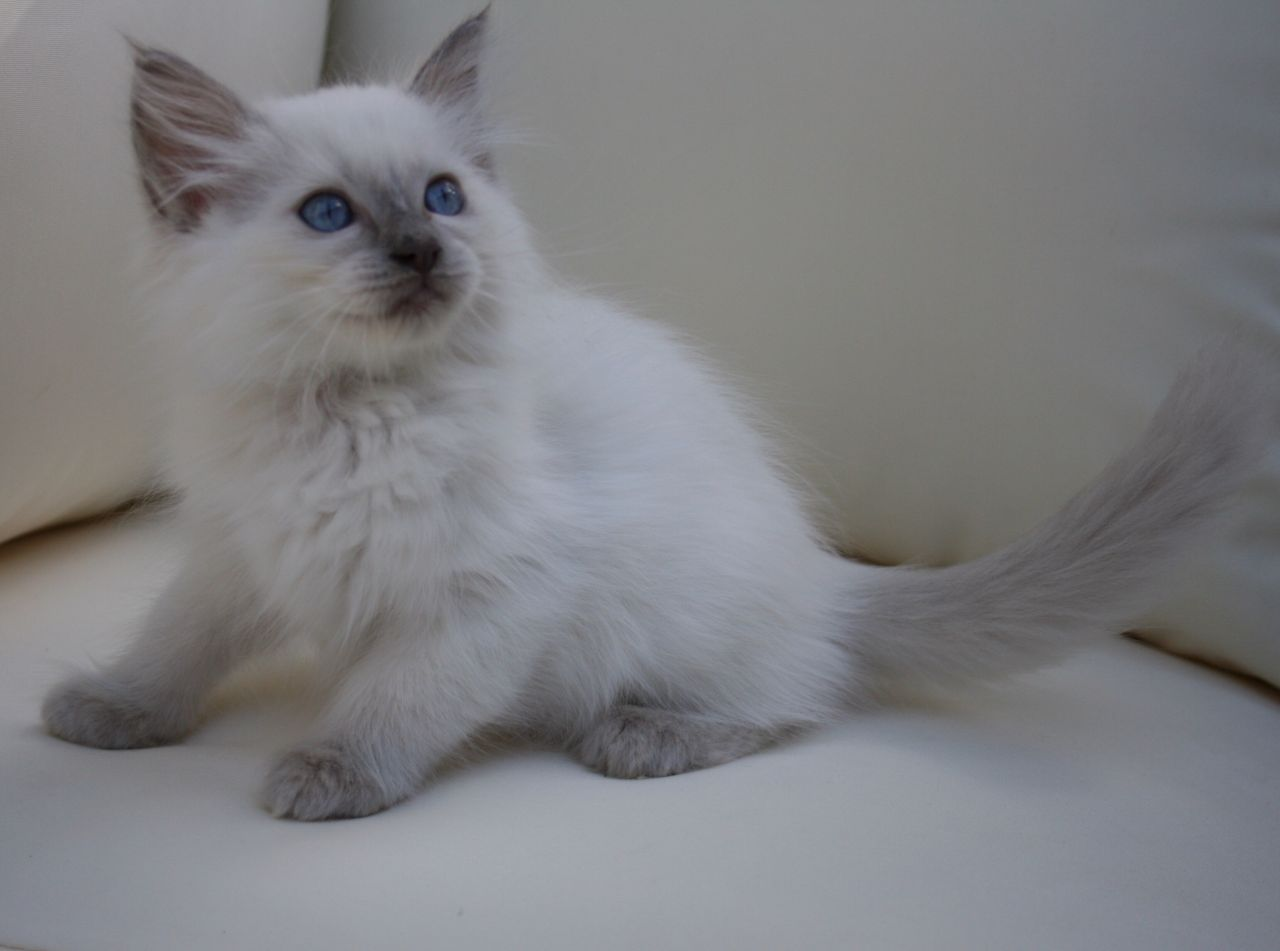 kuwait cats and kittens for sale gccf ragdoll kittens for five star