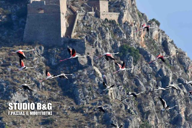 Δεκάδες πανέμορφα φλαμίνγκο καταφθάνουν στο Ναύπλιο (βίντεο)