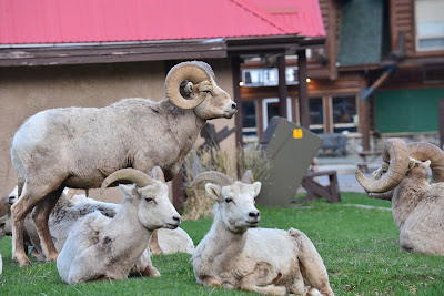 mountain sheep waterton