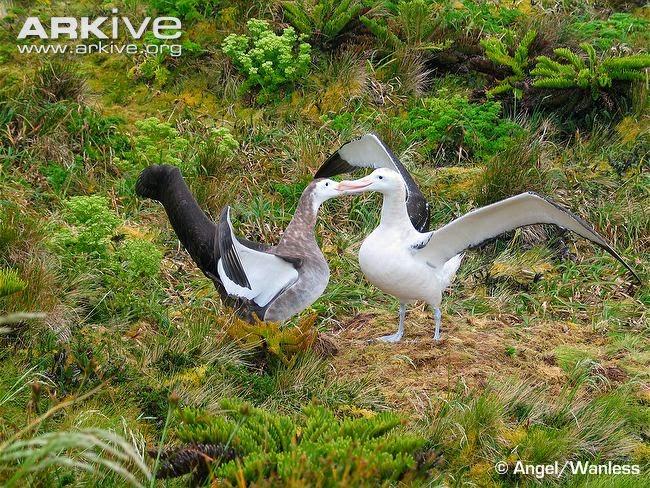 albatros de Tristan Diomedea dabbenena