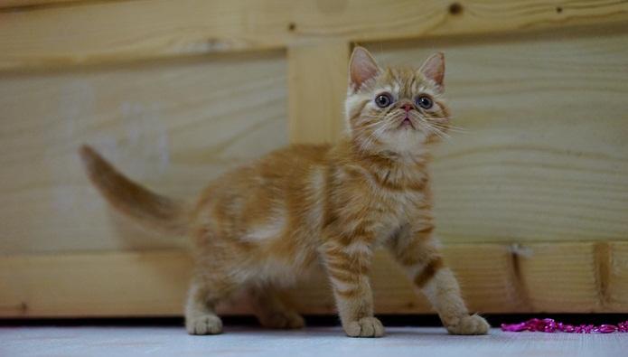 Rahasia Breeder Kucing Exotic Shorthair Omset Jutaan