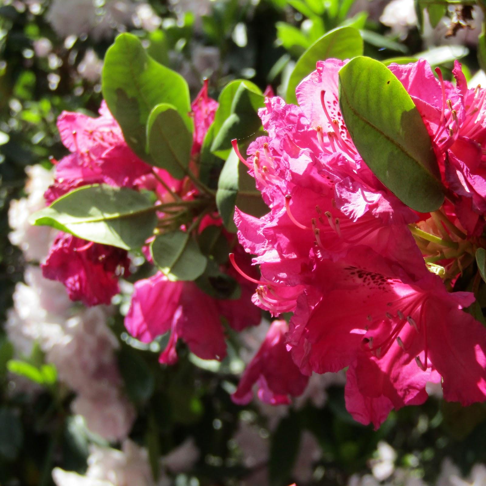 Draussen: Rhododendron