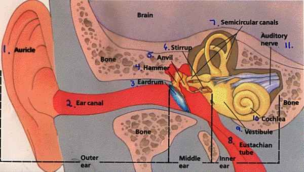 Human outer ear diagram human outer ear diagram photo27 ccuart Image collections