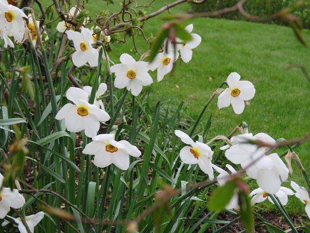 Pinseliljer - narcissus poeticus - Et helt felt fullt av pinseliljer