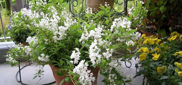 鉢に植えられたヒメウツギの白い花