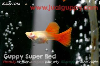 Guppy Albino Full Red / Super Red | Sale Guppy Fish Indonesia