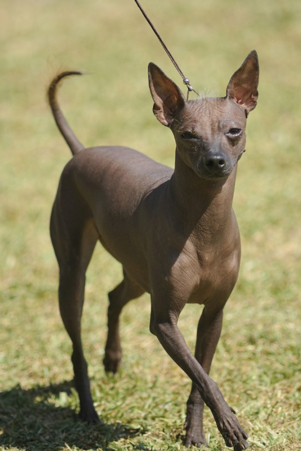 Everything About Your Xoloitzcuintli Luv My Dogs