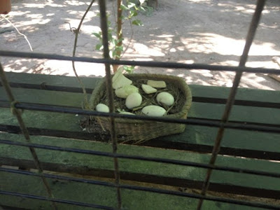 telur buaya