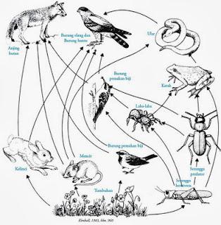 Kelas Aves: Aliran energi, rantai makanan , Jaring-jaring ...