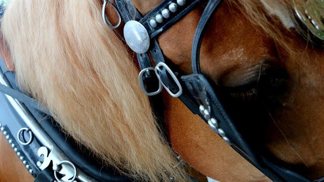 anniversaire cheval canadien