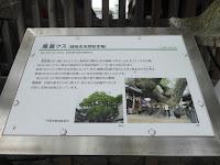 三島神社の薫蓋樟 解説看板