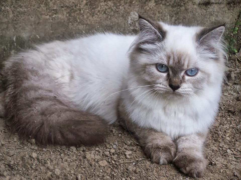 5 Jenis Kucing Populer Di Indonesia