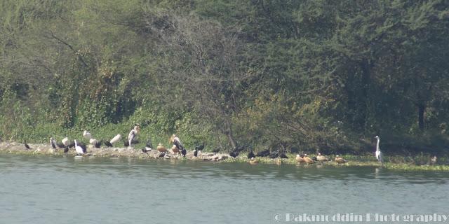 Painted Stork at Pashan Lake, Pune, Maharashtra, India