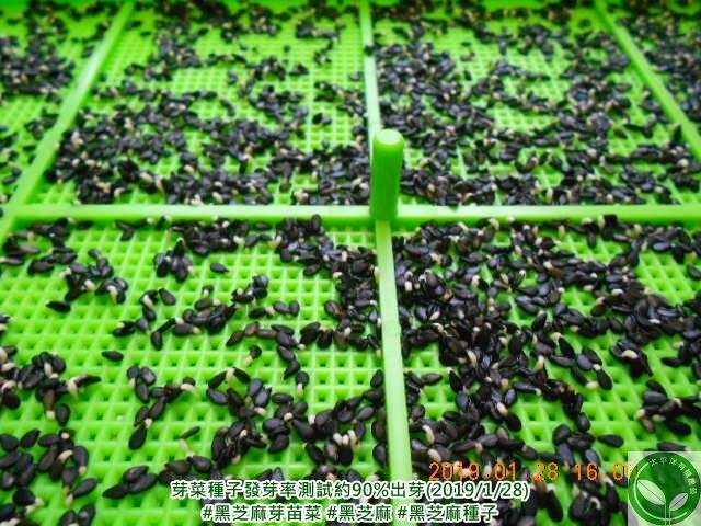 芝麻,芝麻發芽可以吃嗎,芝麻籽,黑芝麻的功效,黑芝麻,黑芝麻食用量,芝麻功效與禁忌,黑芝麻豆漿,黑芝麻熱量,催芽芝麻