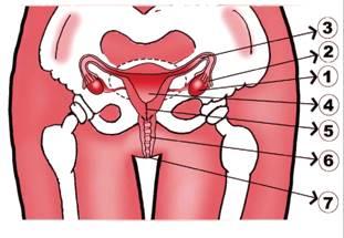 Organ Reproduksi Perempuan
