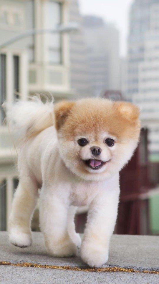 Beautiful Dog Cute Boo 540x960 Wallpaper