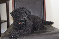 Chico- Black Miniature Poodle