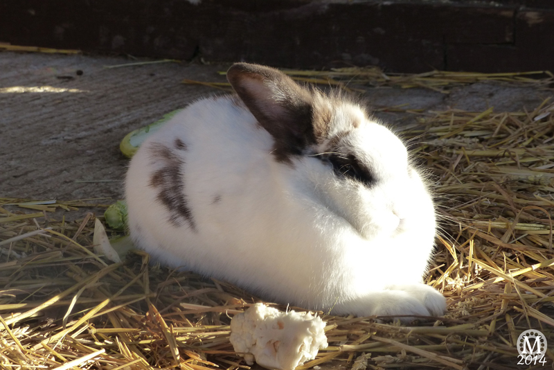 Rabbits at Foxborough Farm, Hainault Forest Country Park