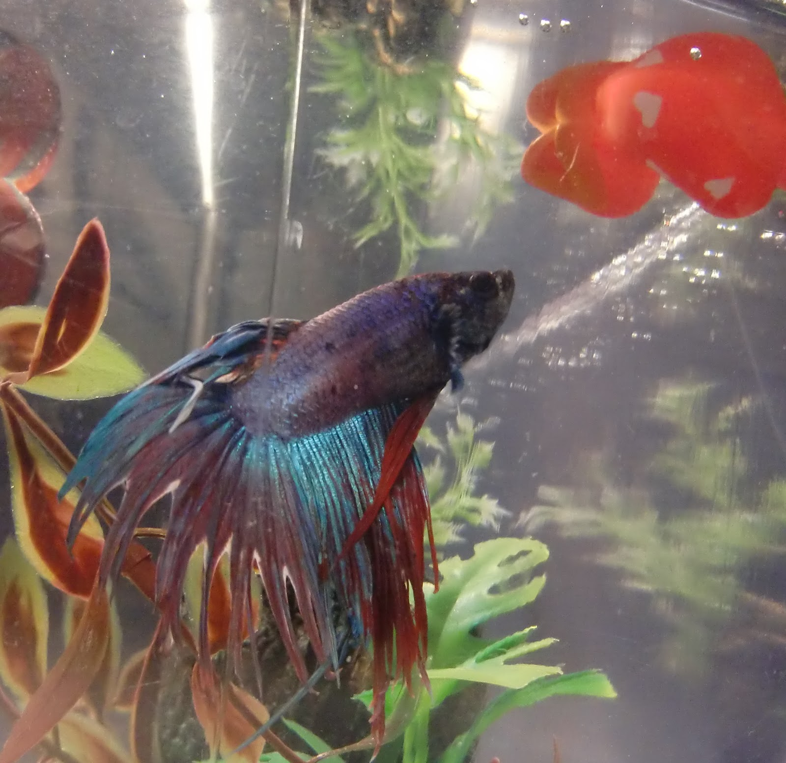 How long can a betta fish survive without food food for Can bettas live with other fish