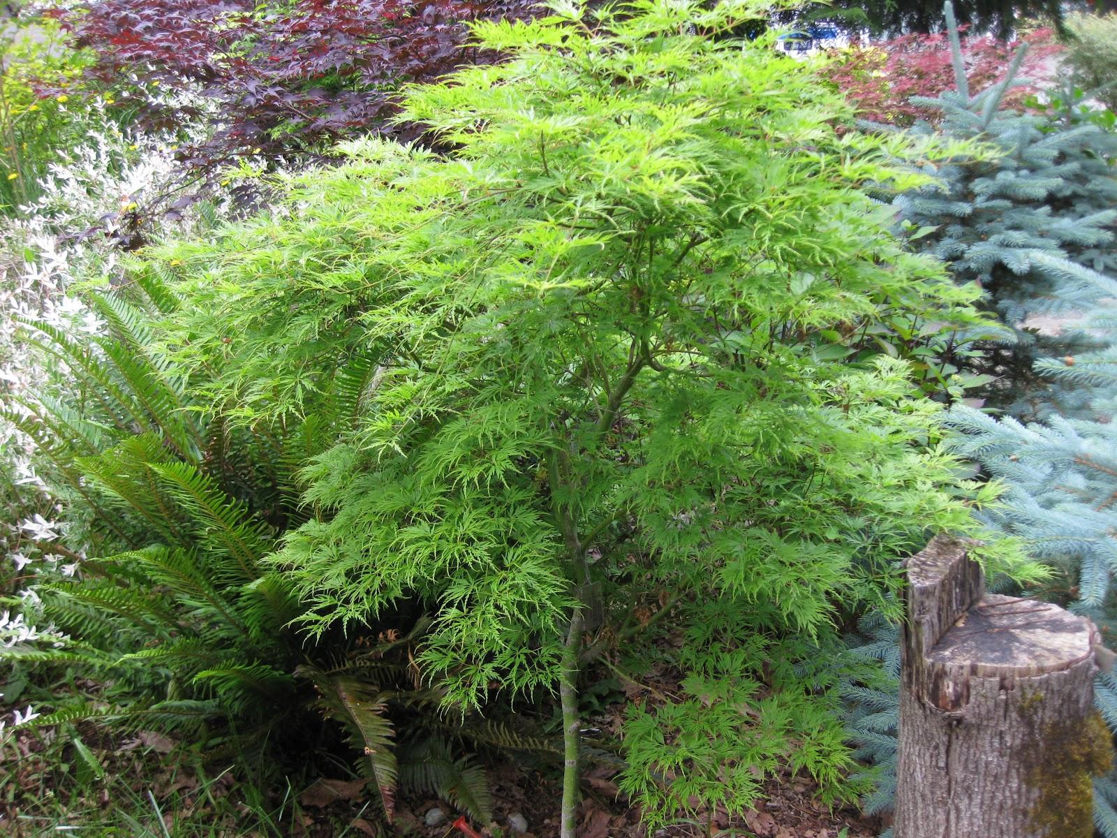 Marys Maples Acer Palmatum Seiryu Laceleaf 2