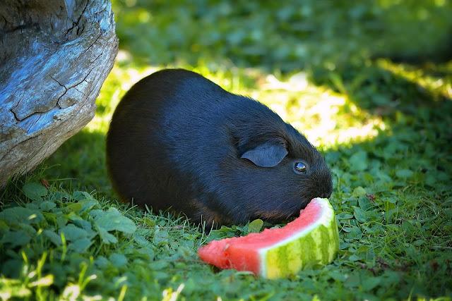 Cavia foto met een zwarte cavia buiten aan een stuk meloen