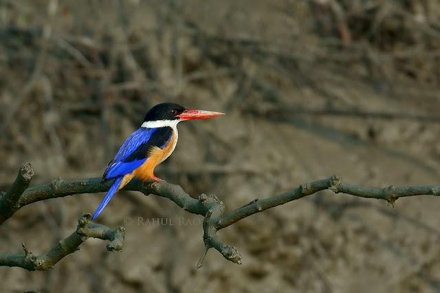 Mangrove, Birding