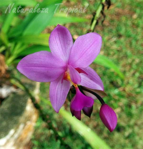 Variedad rosa de una orquídea del género Spathoglottis