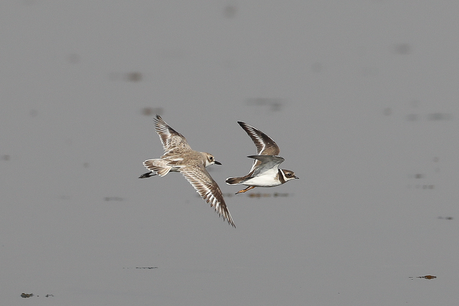Greater Sand Plover (left) & Common Ringed Plover (right)