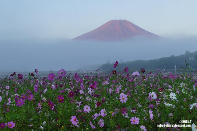 赤富士とコスモス