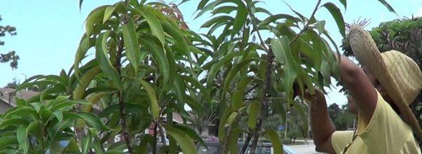 5 Tips merawat pohon mangga agar cepat berbuah lebat