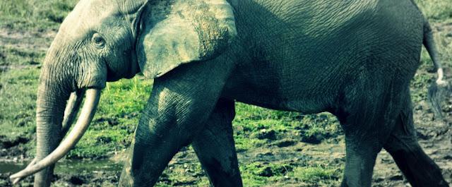 ◄| شاهد| لحظة إنقاذ فيل صغير غارق في الوحل: هاجمهم بعد الخروج