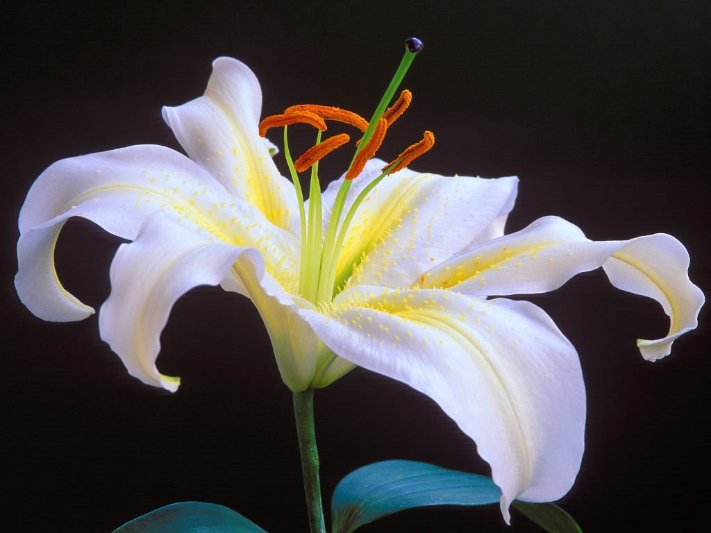 Romantic flowers lily flower this notion of purity had been with the lily flower since the ancient days the chinese and the greeks had linked white lily to purity izmirmasajfo Images