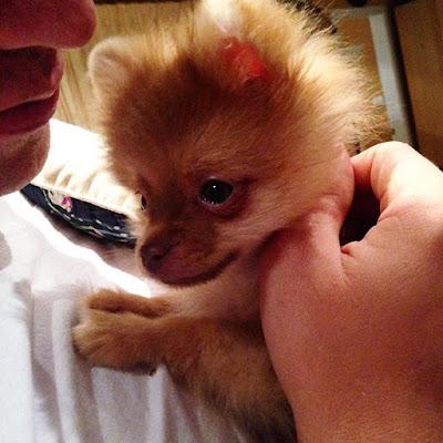 Baby Pomeranian Puppy