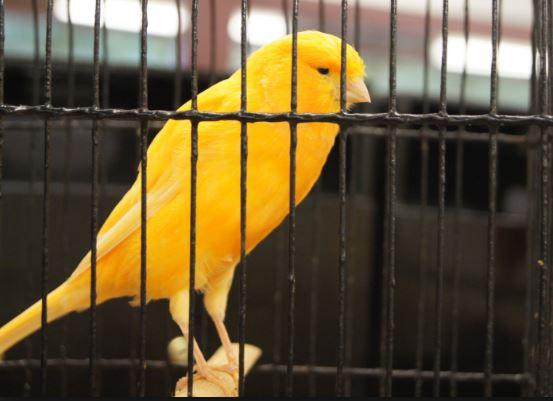 Perawatan Awal Burung Kenari Yorkshire Import