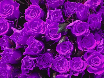 Purple Rose Normal Resolution HD Wallpaper 9