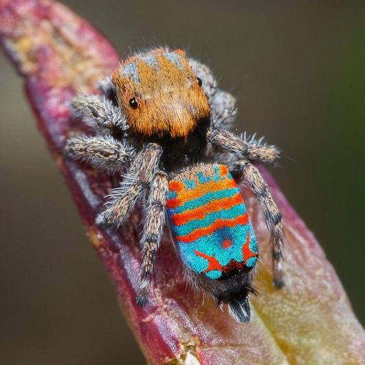 "New species of peacock spider, Maratus jactatus, nicknamed ""Sparklemuffin"" by the graduate student who discovered it, is found only in Australia."