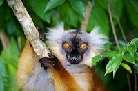 Lemur negro, hembra