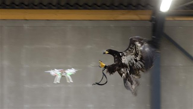 Dutch police unveil the world's first army of eagles to hunt down unauthorized drones