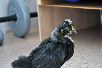 Цыпленок во время линьки 20 дней.