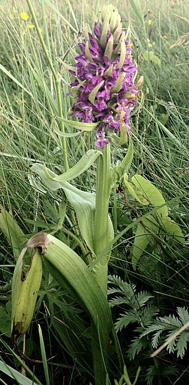 Orchidées incarnat