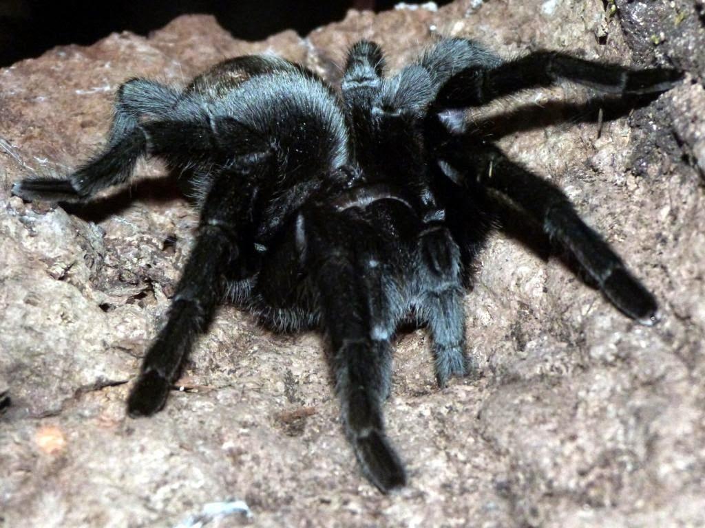 Taxonomía Arthropoda: Arácnidos (de Grammostola mollicoma a Xisticus ...