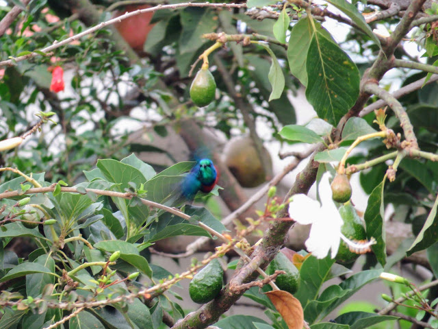 50 Awesome Uganda birds: Red-chested Sunbird in Entebbe