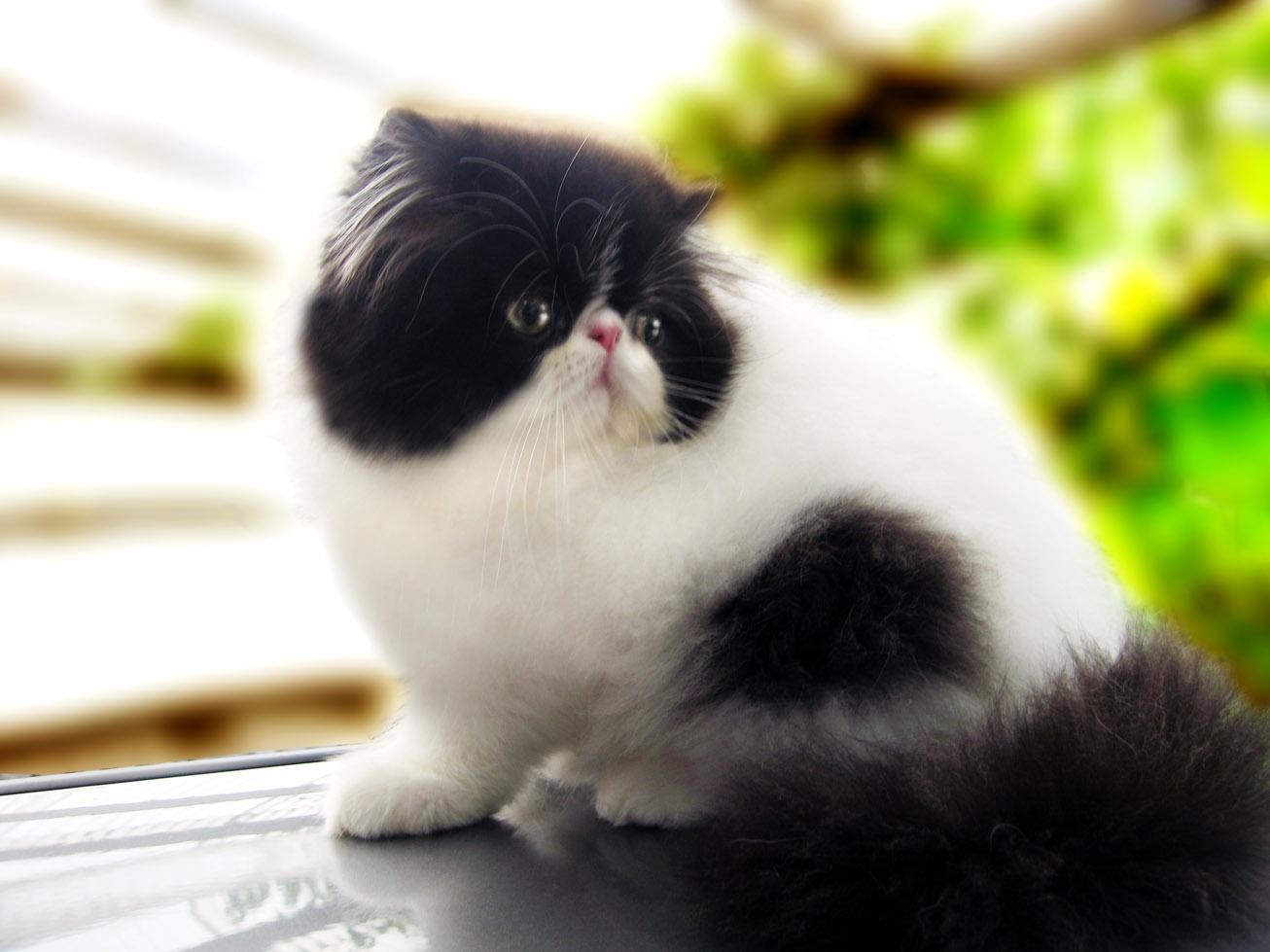 Kucing Persia Jenis Kucing Yang Lucu Untuk Dipelihara Dan